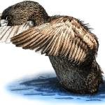 """Pied-Billed Grebe"" by inkart"