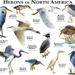 """Herons of North America"" by inkart"
