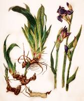 Iris Needlepainting