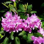 """Rhododendron Closeup"" by susansartgallery"
