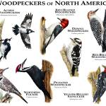 """Woodpeckers of North America"" by inkart"