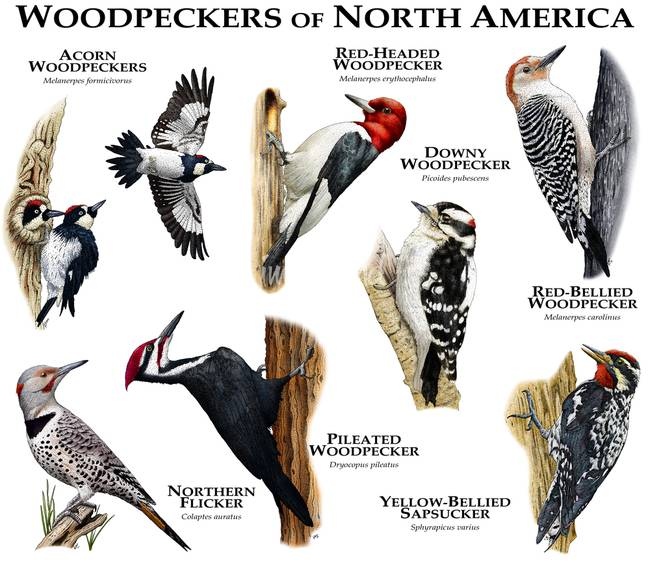 stunning quotred bellied woodpeckerquot drawings and