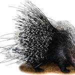 """African Crested Porcupine"" by inkart"