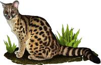 Large-Spotted or Cape Genet