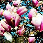 """Magnolia Tree Closeup"" by susansartgallery"
