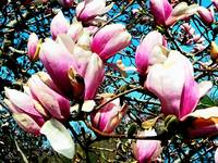 Magnolia Tree Closeup