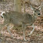 """""""Deer"""" by vpicks"""