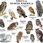 """Owls of North America"" by inkart"