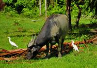 Water Buffalo and Herons