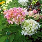 """Delicate Pink and White Hydrangea"" by susansartgallery"