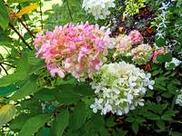 Delicate Pink and White Hydrangea