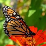 """""""Beautiful Monarch on Zinnia"""" by TaylorMadeArt.US"""