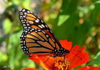 Beautiful Monarch on Zinnia