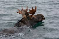 DSC_0646 swimming moose