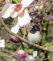 Junco Among the Magnolias