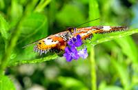Malay Lacewing Frontal