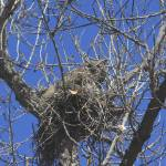 """Great Horned Owl on Her Nest IMG_3884"" by rayjacque"