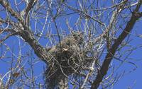 Great Horned Owl on Her Nest IMG_3884