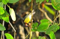 Brown-throated Sunbird (Anthreptes malacensis)