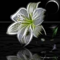 Lily of Light in the Moonlight Art Prints & Posters by Edmond Hogge