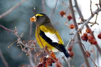 DSC_1140 evening grosbeak