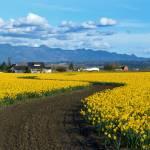"""""""Daffodil Lane"""" by Dawsonimages"""