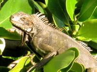 Iguana Lizard from St. John USVI