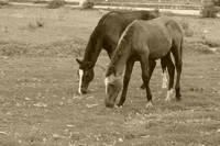Brown Horses Grazing