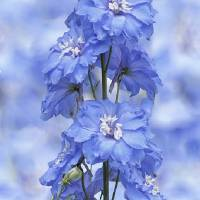 """Larkspur Blue"" by Cora Niele"