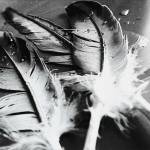 """Black and white feathers"" by lizmix"