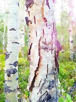 Crackling Old Aspen