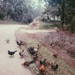 """""""roosters"""" by packedlikesardines"""