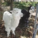 """""""alpacas"""" by packedlikesardines"""