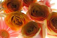 Pastel Pink and Orange Roses on White