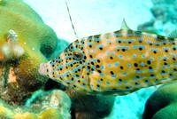 Filefish Eating