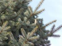 Purple Finch in Pine