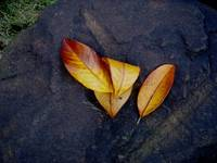 Three Leaves Of Fall