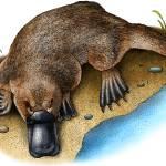 """Duck-Billed Platypus"" by inkart"