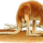 """""""Red Kangaroo"""" by inkart"""