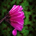 """Pink Spring daisy on Green"" by bloomingvinedesign"