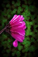 Pink Spring daisy on Green