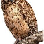 """Madagascar Long-Eared Owl"" by inkart"