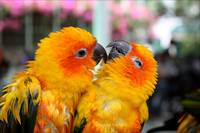 Playful Yellow Orange and Green Love Birds