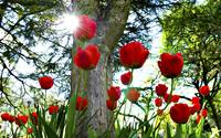 Sunlight Awakens Lovely Red Tulips