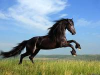Jumping Black Horse