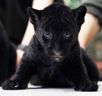 Feel The Intensity Endangered Black Panther Cub