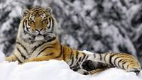 Majestic Bengal Tiger In The Snow