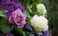 Purple and White Rose Blooms