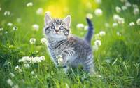 Grey Tabby Kitten Plays In The Clover Blossoms