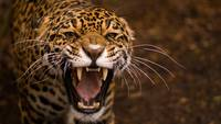 Ferocious Snarling Jaguar Cat, Africa